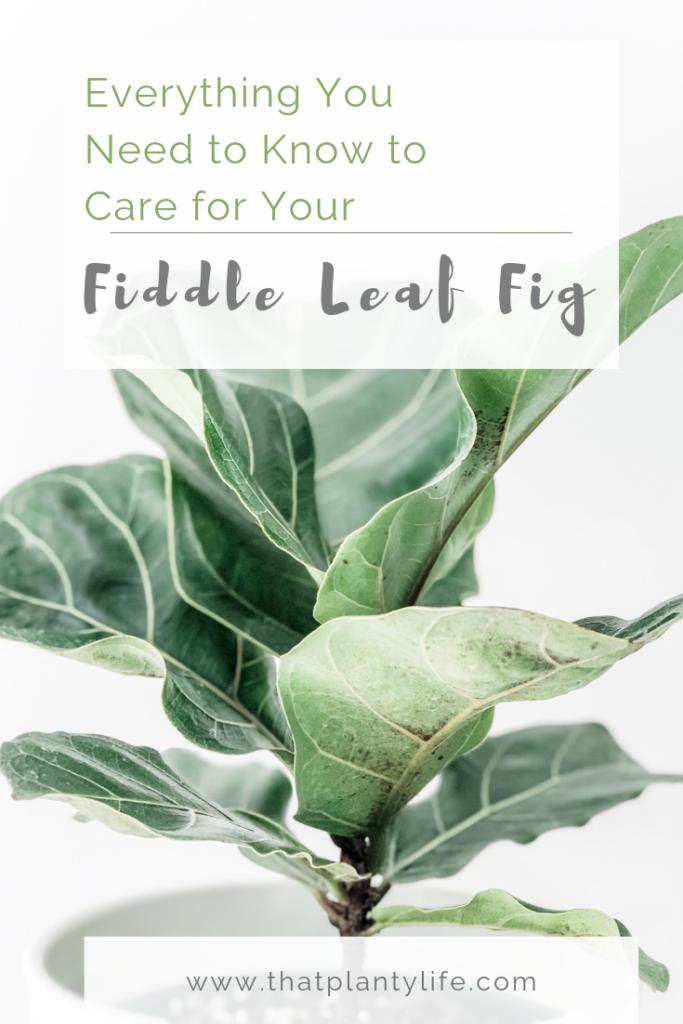 Fiddle Leaf Fig, Ficus Lyrata, Houseplants, Fiddle Leaf Fig Care, Plants, Best Houseplant, Bright light houseplant, How to care for a fiddle leaf fig