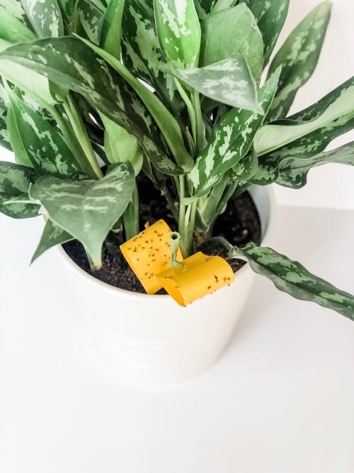 houseplant flies, fungus gnats, houseplants, indoor plants, houseplant pests, get rid of pests, Houseplant tips, Houseplant Tricks, Houseplant hacks