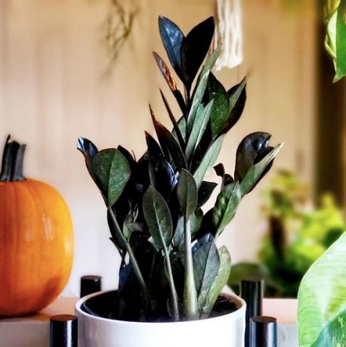 Raven zz, Fall Decor, Halloween Decor, Black Houseplant, Cool houseplant, easy houseplant, plant care, Home decor, Black Houseplants, Houseplant care guide