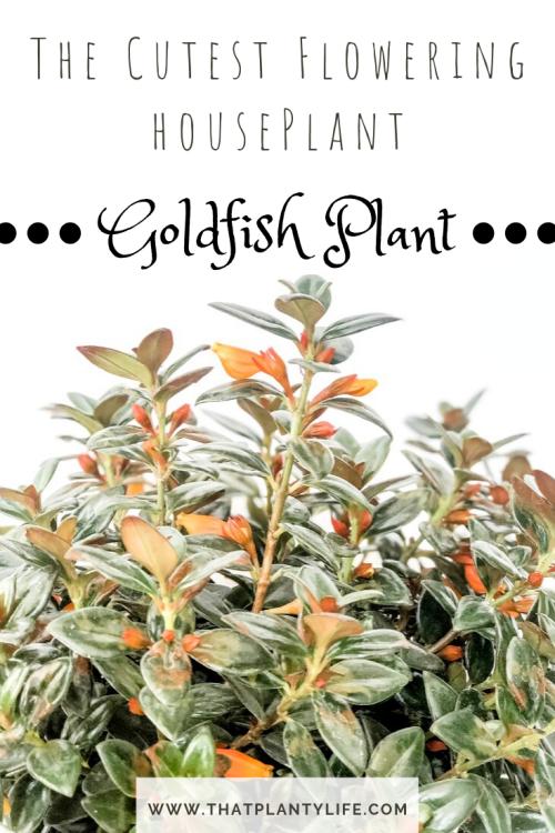 Goldfish plant, Columnea gloriosa, best Houseplant, flowering houseplant, cute houseplant, unique houseplant, plants, home decor, Bright light plant, flowering houseplant
