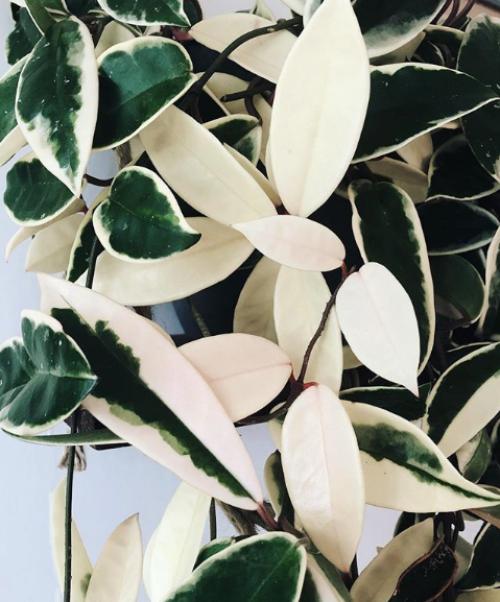 Variegated Houseplants, Pretty Houseplants, easy houseplants, home decor ideas, variegated monstera, cheap houseplants, home inspiration, houseplant care guide, home decor