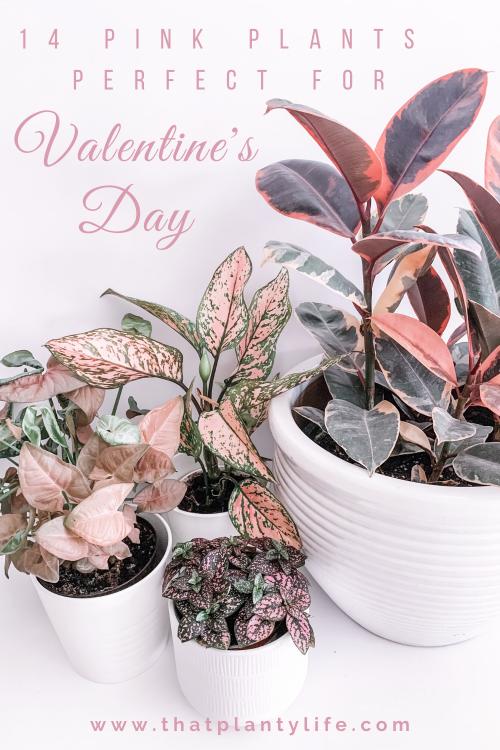 Pink Houseplants, Valentine Gifts, Valentine ideas, Interesting houseplants, Unique Houseplants, Bright light houseplants, Easy houseplants, beginner houseplants